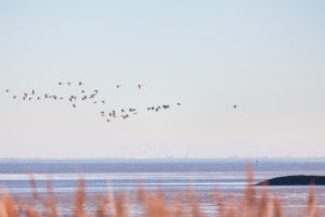 Europe, Germany, Lower Saxony, Otterndorf. Canada and Greylag geese fly over the Elbe estuary at sunrise.