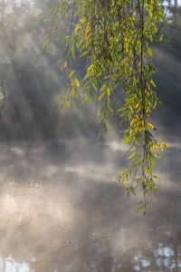 Europe, Germany, Lower Saxony, Otterndorf. Behind the twig of a white willow (Salix alba), on a frosty morning, the rays of the sun break through the mist and bank of the river Medem.