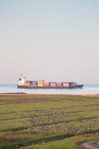 Europe, Germany, Lower Saxony, Otterndorf. A flock of white-cheeked geese (Branta leucopsis) picking in the meadows of the Outer Dike, Behind it, a container freighter travels over the quiet Elbe in the evening light.