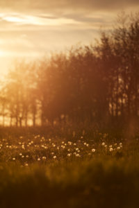 Europe, Germany, Lower Saxony, Otterndorf. In the evening backlight the dandelions (Taraxacum officinale) shine on an empty paddock.