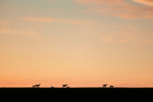 Europe, Germany, Lower Saxony, Otterndorf. Ewes with their lambs on the dike.