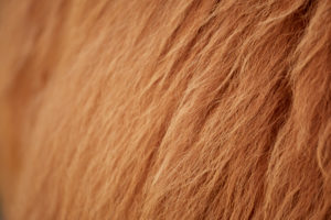 Europe, Germany, Lower Saxony, Otterndorf. Close-up of the fur of a Scottish highland cattle.