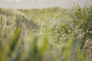 Europe, Germany, Lower Saxony, Otterndorf. A ditch overgrown with meadow chervil in the early morning light.