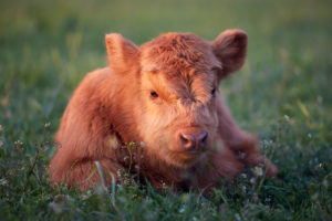 Europe, Germany, Lower Saxony, Otterndorf. The four-week-old bull calf of a herd of Scottish highland cattle lies in the grass at dusk.