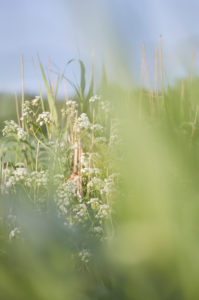 Europe, Germany, Lower Saxony, Otterndorf. In the early morning light, a reed warbler sings hidden in a ditch overgrown with meadow chervil.