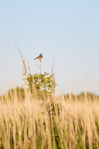Europe, Germany, Lower Saxony, Otterndorf. A white star bluethroat (Luscinia svecica cyanecula) calls from a small tree in the reed bed.