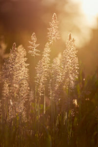 Europe, Germany, Lower Saxony, Otterndorf. On a wild meadow, soft honey grass (Holcus mollis) glows against the light.