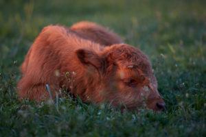 Europe, Germany, Lower Saxony, Otterndorf. The four-week-old bull calf of a herd of Scottish highland cattle lies dozing in the grass at dusk.