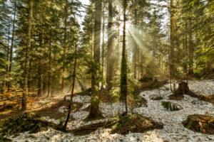 Europe, Montenegro, Žabljak Municipality, Dumitor National Park, Žabljak, forest, sunbeams