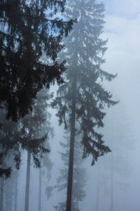 Vorau, spruce trees in fog, Steirisches Thermenland - Oststeiermark, Steiermark / Styria, Austria