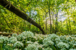 Nationalpark Donauauen, Danube-Auen National Park, blooming Bärlauch (Allium ursinum) in Nationalpark Donauauen, wild garlic, trees, deadwood, jungle, primeval forest, in Donau, Niederösterreich / Lower Austria, Austria
