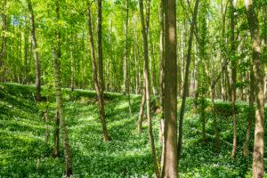 Hardegg, blooming Bärlauch (Allium ursinum), wild garlic, trees, Thaya River National Park Thayatal - Podyji, in Weinviertel, Niederösterreich / Lower Austria, Austria
