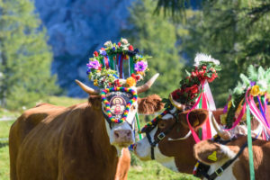 Dachstein Mountains, alm alp Walcheralm, decorated cows for Almabtrieb cattle drive, high mountain pasture, Alpine transhumance in Schladming-Dachstein, Styria, Austria