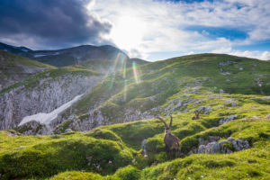 Hochschwab Mountains, Alpensteinbock, Alpine ibex (Capra ibex), summit Hochschwab in Hochsteiermark, Steiermark / Styria, Austria