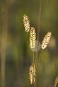 Zarte Gräser im Gegenlicht, Nahaufnahme,