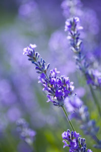 Lavender, close-up