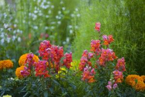 Flowerbed with Antirrhinum
