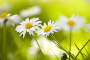 Daisies in the meadow, close-up