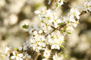 Cherry tree blossom, twig, blossoms, white