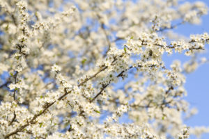 Cherry tree blossom, twigs, blossoms, white