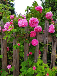 Roses at the garden fence