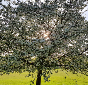 Blossoming apple tree in spring