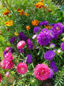Flower bed with asters