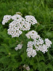 Yarrow in the meadow