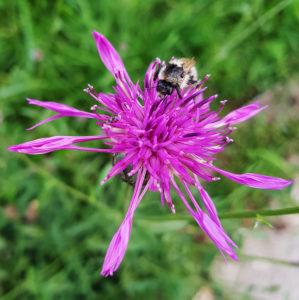 Bumblebee on flake flower
