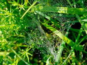 Spider web in the grass with dew drops
