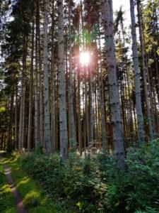 Sunbeams through conifers