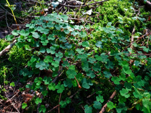 Clover on the forest floor