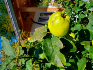 Quince tree in the garden, detail,