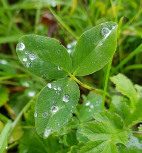 Shamrock with drops of dew