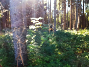 Garden spider on the web