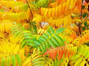 Shrub in autumn color, detail