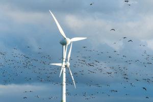 Germany, Lower Saxony, Krummhörn, wind power station with a flock of barnacle geese (Branta leucopsis)