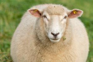 Schafe auf einer Weide,