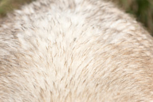 Fur of a sheep,