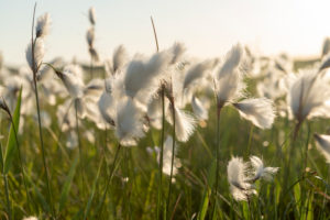 Cottongrass, Cotton Grasses, Eriophorum, Acacia Family, Cyperaceae, Broadleaf Cottongrass, Eriophorum latifolium