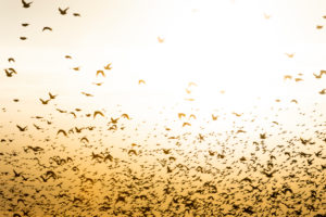 Starlings (Sturnidae), flock of starlings in East Frisia.