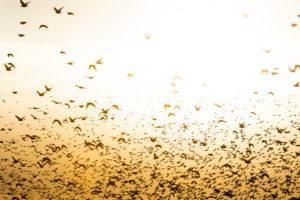 Starlings (Sturnidae), flock of starlings in East Frisia.