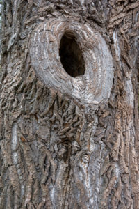 Large knothole in a tree trunk.