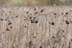Sonnenblumenfeld mit vertrockneten Sonnenblumen (Helianthus annuus).