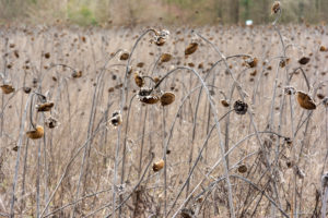 Sunflower field with withered sunflowers (Helianthus annuus).