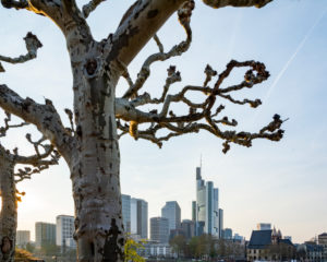 Germany, Hesse, Frankfurt, Frankfurt skyline behind plane trees.