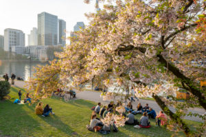 Germany, Hesse, Frankfurt, Frankfurt skyline behind a blossoming ornamental cherry tree.