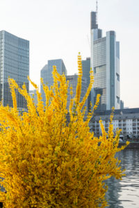 Germany, Hesse, Frankfurt, Frankfurt skyline. Forsythia also called garden forsythia, golden lilac or golden bells.