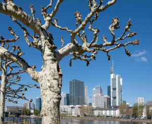 Germany, Hesse, Frankfurt, Frankfurt skyline, plane trees on the Main.
