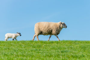 Germany, Lower Saxony, East Frisia, Emden, sheep graze on the sea dyke.
